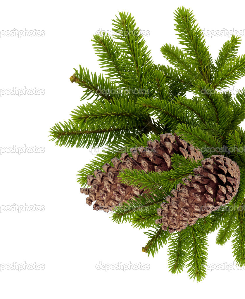Branch of Christmas tree with cones isolated on white — Photo #8055475