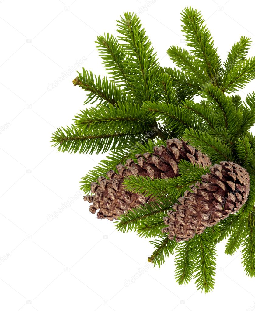 Branch of Christmas tree with cones isolated on white — Стоковая фотография #8055475