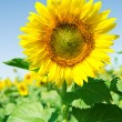 Beautiful sunflower in the field with bright blue sky — Stock Photo