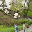 Постер, плакат: Flowering magnolia in the spring city park