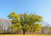 A single oak tree in the autumn glade of Sofiyivsky Park. — Stock Photo