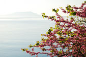 Blossoming cherry tree against the sea. — Stock Photo