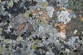Patrón musgo colores en la roca del ártico — Foto de Stock