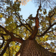 Old oak tree from below. — Stock Photo #10523083