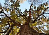 Old oak tree from below. — Stock Photo
