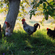 Royalty-Free Stock Photo: Countryside with poultry.