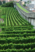 Vineyards under the medieval rampart in Bellinzona. — Stock Photo