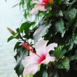 Flowering shrub of hibiscus — Stock Photo