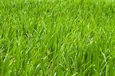 Rosée du matin sur herbe — Photo