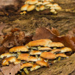 Stock Photo: Sulphur tuft fungi (hypholomfasiculare)