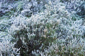 Frost on heather — Stock Photo