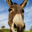 Loveable donkey — Stock Photo