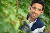 Man behind bunches of grapes in vineyard — Stock Photo