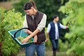 Winegrowers in the vineyard — Stock Photo