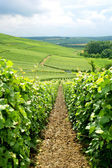 Field of vines — Stock Photo