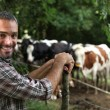 Man in front of cows — Stock Photo