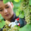 Woman pruning grape vine - Stock Photo