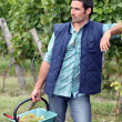 Stock Photo: Gardener with basket full of grapes