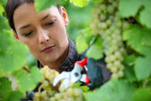 Woman pruning grape vine — Stock Photo