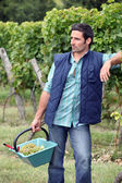 Gardener with a basket full of grapes — Stock Photo