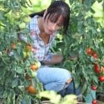 Woman with tomato plants — Stock Photo