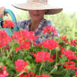 Woman in a straw hat watering geraniums - Stockfoto