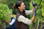 Couple pruning grape vines — Stock Photo