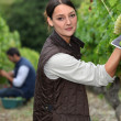 Stock Photo: Grape-pickers