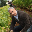 Stock Photo: Wine harvest