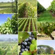 Images of a vineyard — Foto de Stock