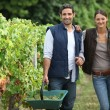 Couple collecting grapes from vines — Stock Photo #8064146
