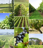 Images of a vineyard — Stock Photo