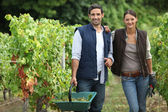 Couple collecting grapes from vines — Stock Photo