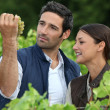 Stock Photo: Farmer and wife inspecting grapes