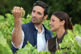 Farmer and wife inspecting grapes — Stockfoto