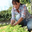 Stock Photo: 30 years old womlifting lettuce in kitchen garden