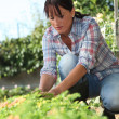 30 years old womlifting lettuce in kitchen garden — Stock Photo #8167216
