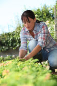 A 30 years old woman lifting a lettuce in a kitchen garden — Stock Photo