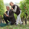 Man and woman picking grapes in a vineyard — Stock Photo #8298145