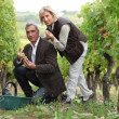 Man and woman picking grapes in a vineyard — Stock Photo