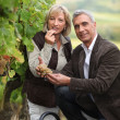 Couple picking grapes together - Stock Photo