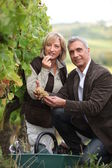 Couple picking grapes together — Stock Photo