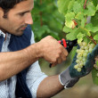 Stock Photo: Grape-picker in vineyard with clippers