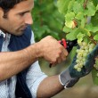 Grape-picker in vineyard with clippers - Stock Photo