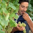Man eating grapes in vineyard - Stock Photo
