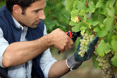 Grape-picker in vineyard with clippers — Stock Photo