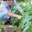 Woman picking vegetables — Stockfoto