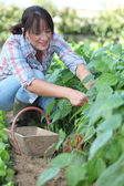 Woman picking vegetables — Stock Photo