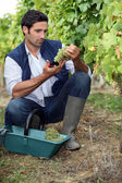 Wine-grower picking grapes — Stock Photo