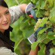 Stock Photo: Young womworking in vineyard